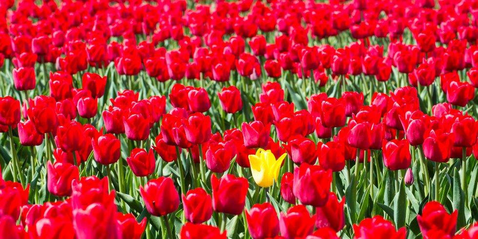 Tulpen_groot.jpg
